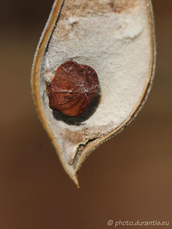 Graine de wisteria · Blauregen-Samen