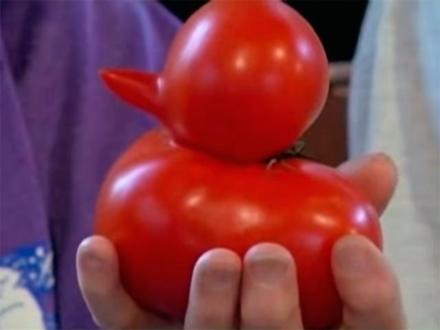 Ancianos cultivan tomate en forma de pato