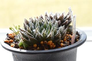 DSC_0789 Haworthia hyb. tenera x major テネラマジョール