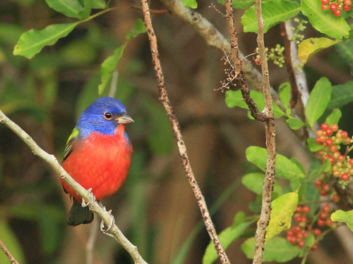 Painted Bunting 3-20151102