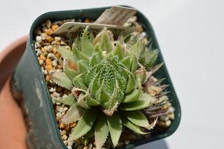 DSC_0469 Haworthia herbacea, DT3519 Uitvlug, near De Wet Station, NE of Worcester ハオルチア ヘルバセア