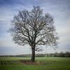 Nailstone Oak_321