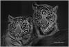tiger cubs bw