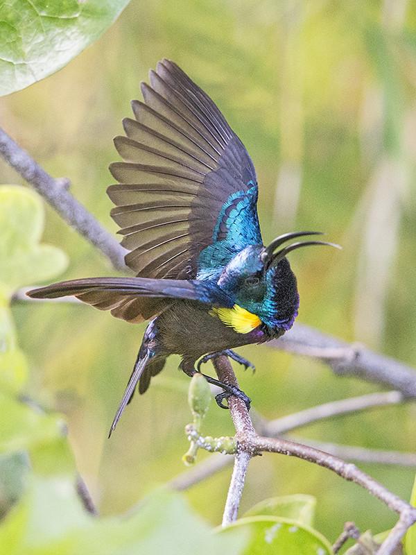 Loten's Sunbird   Sri Lanka