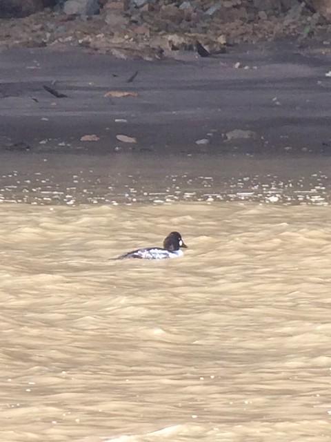 Suspected Common X Barrow's Goldeneye. McAllister Creek. Nisqually NWR.