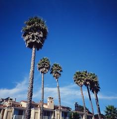 Capitola Palm Trees