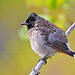 Red-vented Bulbul by Anuj Nair