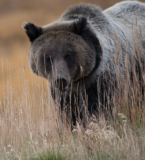 Grizzly at Togwotee Pass, Nikon D500, AF-S Nikkor 200-500mm f/5.6E ED VR