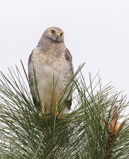 Northern Harrier (male)