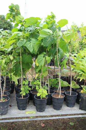rota melanolepsis melanolepsismultiglandulosa euphorbiaceae