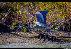 Blue Heron scouting the river