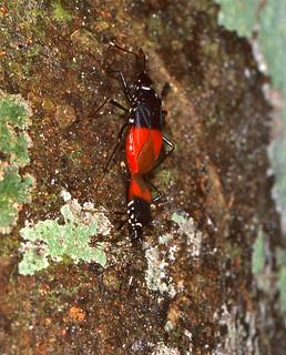 Pyrrhocorid Bugs (Dindymus pulcher) mating