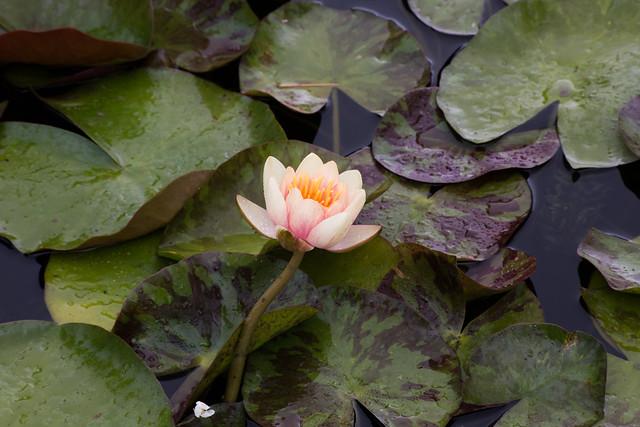 The Backyard Garden - Water Lilies