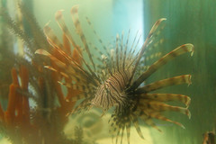 GS Marine Lab Lionfish 6