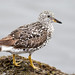 Surfbird by Patricia Ware