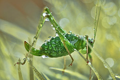 Droplet Cricket