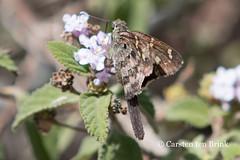 Chota butterfly