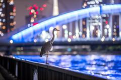永代橋の野鳥、夜鳥