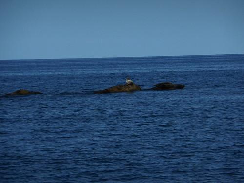 rebun-island-seals-watching-seals03