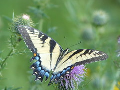 Eastern tiger swallowtail (Papilio glaucus) Butterfly on Rose Hill - Kingstowne Power Line Trail
