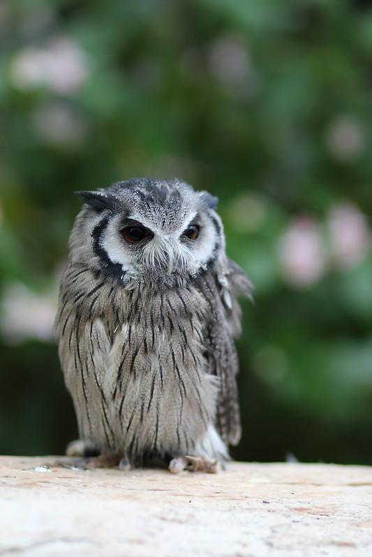 スピックスコノハズク / Tropical Screech Owl