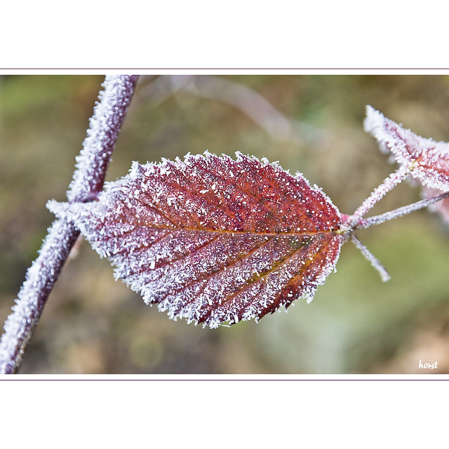Frost on brambles