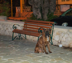Βρέθηκε σκύλος boxer με σπασμένη αλυσίδα στην πλατεία της Ψίνθου