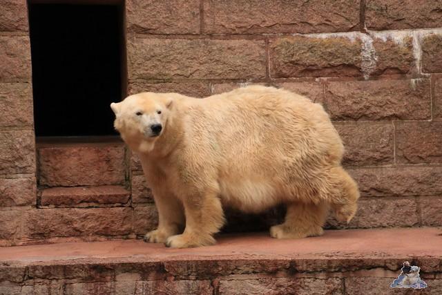 Eisbär Fiete im Zoo Rostock 05.12.2015  202