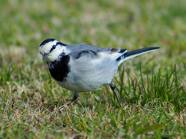 White wagtail (ハクセキレイ)