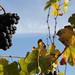 MIN 236_Sonoma_grapes