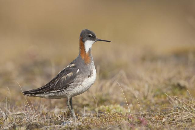 Red-necked Phalarope on the Tundra