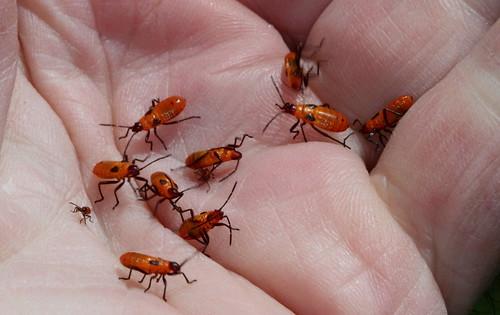 northcarolina milkweed richmondcounty milkweedbugs