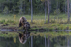 Bears cub sipping by shore lake