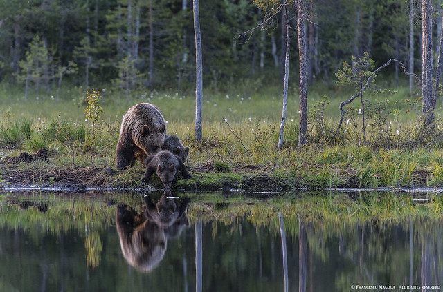 Bear cub sipping by shore lake
