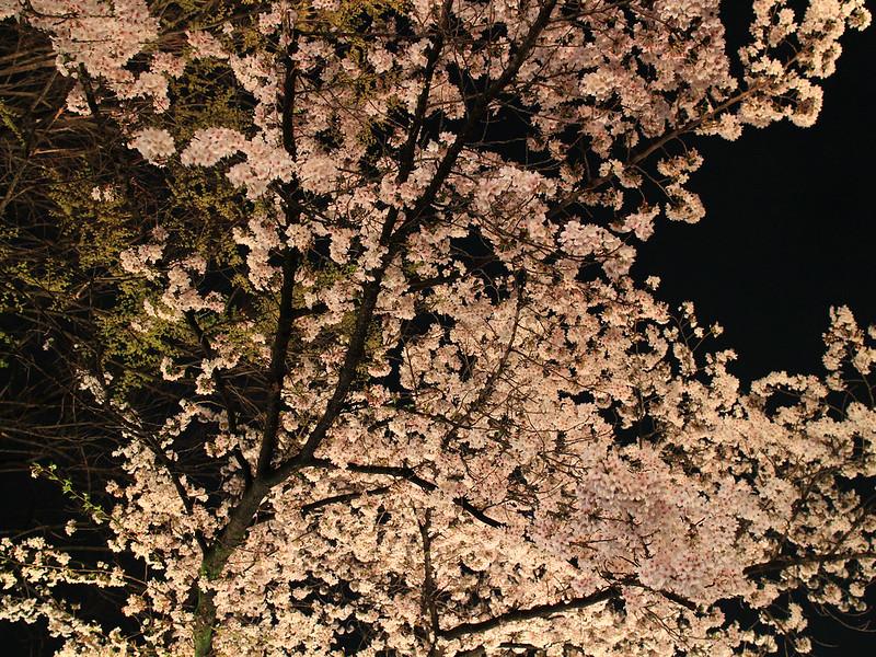 0403_祇園白川夜櫻 (25)