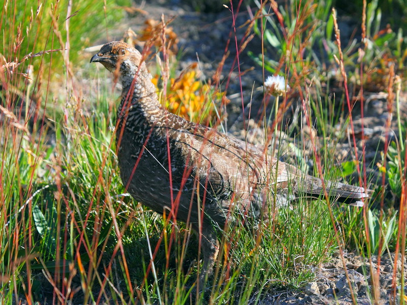 IMG_5882 Ruffed Grouse on Mount Fremont Lookout Trail