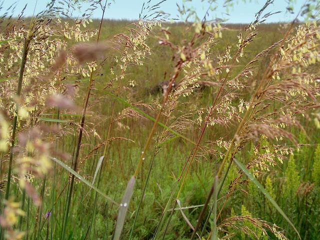 8.29 Nachusa Tall Grass Prairie2