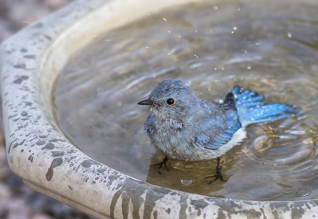 Mountain Bluebird 7d1_2383
