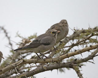 Wattled Starling f (Creatophora cinerea )