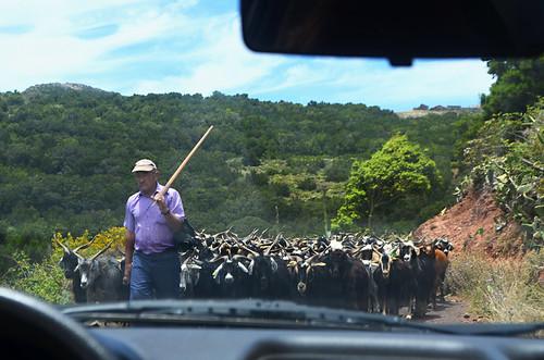 Goat road block, Teno, Tenerife