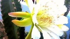Cactus flower'  Selenicereus
