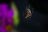 Garden spider by Abdieg