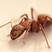 ant by Kurt:S