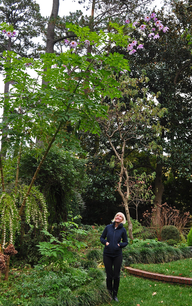 The Gardener Admires Her Tree Dahlia