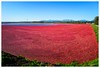 Cranberry Harvest (276/365) by Free 2 Be