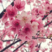 淡淡的相思 Pastel Pink by Wen • Wen