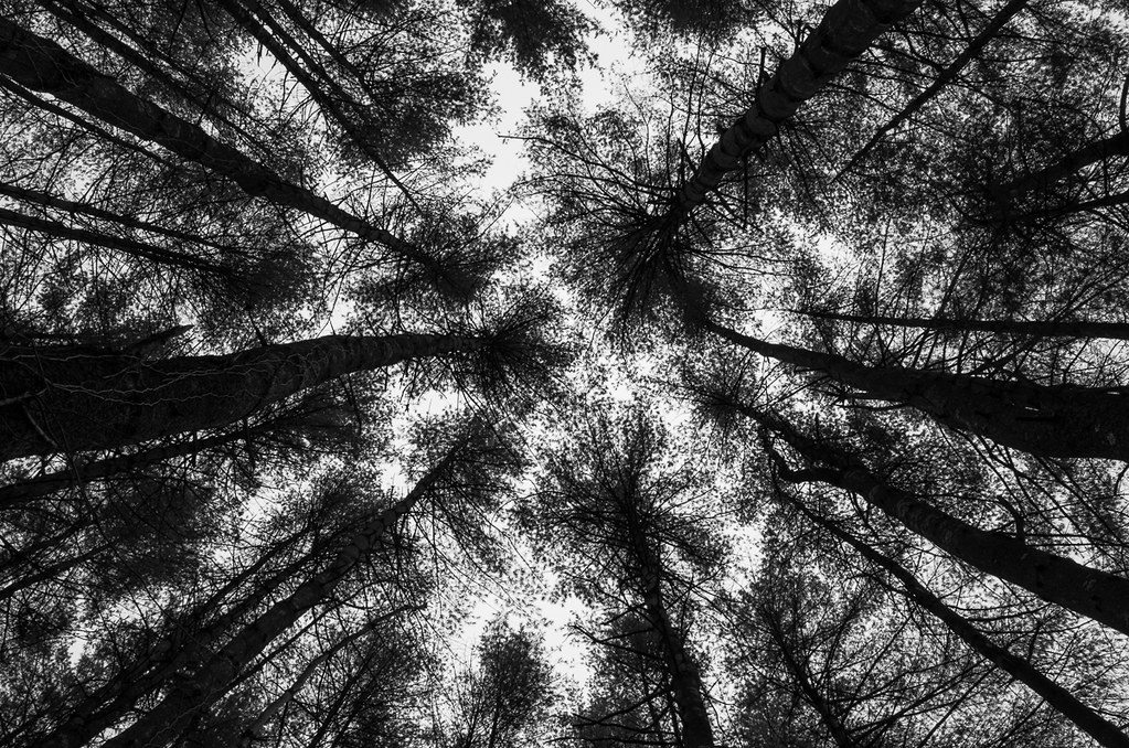 Looking up at white pines