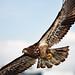 Bald eagle. IMG_7110 by Peacefulbirder