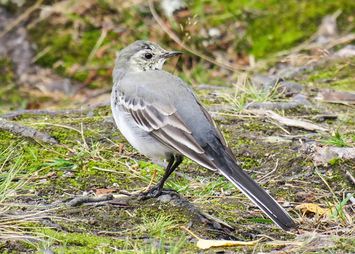 juvenile  White Wagtail /junge Bachstelze