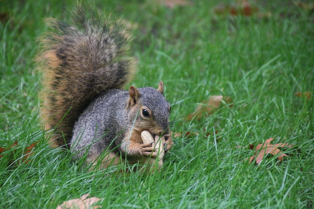 129/365/3051 (October 18, 2016) - Squirrels in Ann Arbor at the University of Michigan (October 18, 2016)